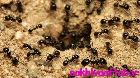 مورچه موجودی حیرت آور